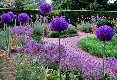 pictures of alliums alliums old house new garden