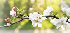 Exotische Früchte Im Eigenen Garten : apfelbaum pflanzen in 6 schritten zum eigenen obstbaum im ~ Lizthompson.info Haus und Dekorationen