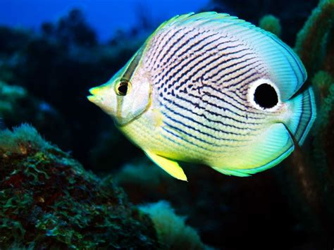 saltwater fish butterfly fish facts and new photos the wildlife