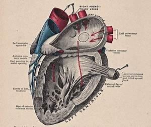 Free Vintage Clip Art - Anatomy Heart