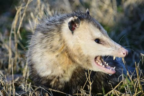 Possum Images How Is A Possum Really Different From An Opossum