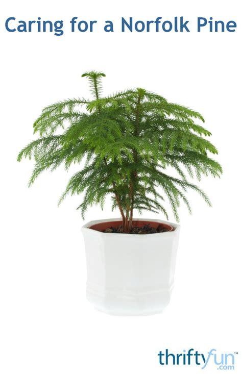 caring   norfolk pine thriftyfun