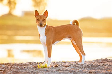 basenji dogs and puppies dog breeds journal