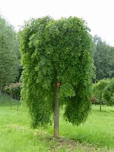 Arbre Ombre Croissance Rapide : styphnolobium japonicum pendula p pini res van den berk ~ Premium-room.com Idées de Décoration