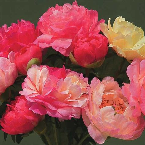 do peonies need sun 28 images in for a peony they re