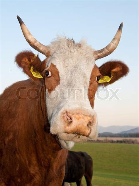 closeup portrait  horned  head  green pasture