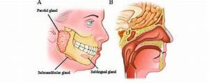 Locations Of Major And Minor Salivary Glands   A  The