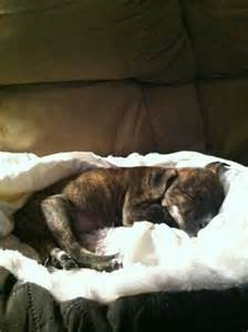 Brindle Pit Bull Puppy