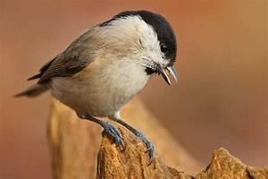 Kleine Vögel Im Garten : leicht zu verwechseln v gel bestimmen im winter nabu ~ Lizthompson.info Haus und Dekorationen