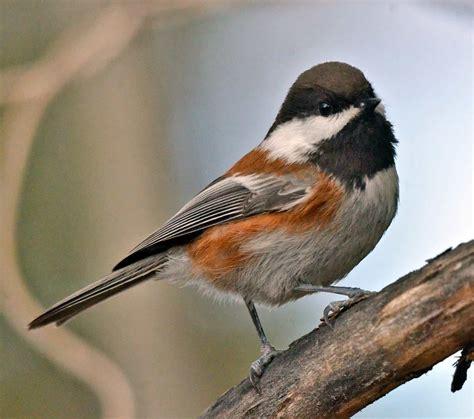 chestnut backed chickadee ebirdr