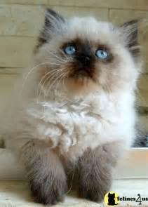 himalayan cat for himalayan cat catssky