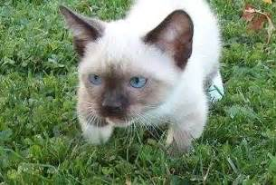 munchkin cat price munchkin for ads free classifieds