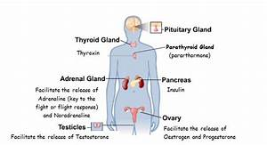The Function Of The Endocrine System  Glands And Hormones