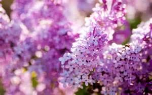 pink flower tree lilac flower purple photo 34733603 fanpop