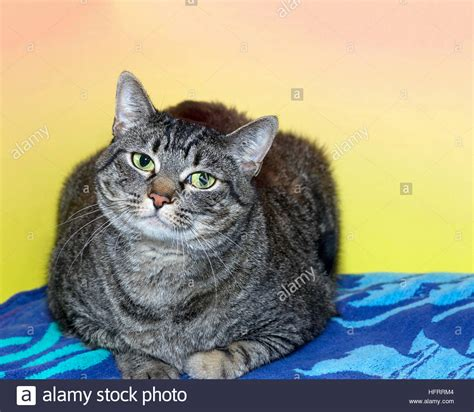 Black and gray striped tabby cat laying on a patterned ...