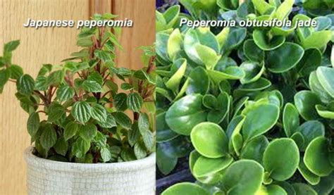 nama tanaman hias daun gambar nama latinnya