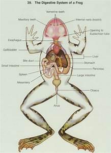 Frog Digestion