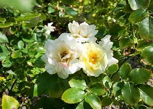 Rose Popcorn Drift - Tree Top Nursery & Landscape Inc