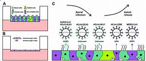 Human Airway Epithelial Cell Culture Models And Hcov Receptor