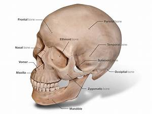Anatomy Organ Pictures: Top Collection Skull Human Anatomy ...
