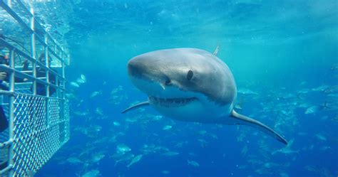 great white shark dive shark cage diving with calypso charters rtw backpackers