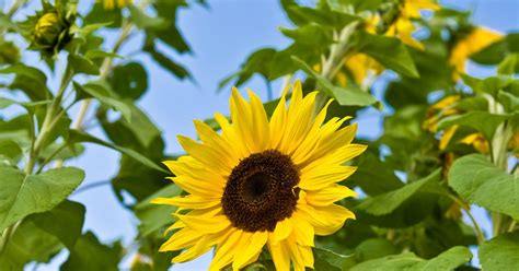 can i grow sunflowers in pots how to grow mini sunflowers ehow uk