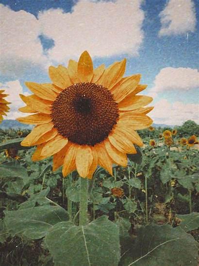 Sunflower Flower Yellow Iphone Aesthetic Sunshine Sunflowers