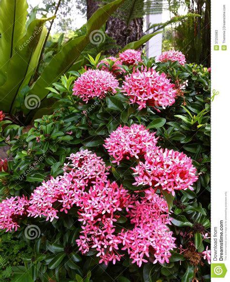 tropical flowering bushes pink blooming ixora stock photos image 37250983
