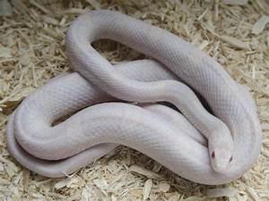 Lava Lavender Cornsnake - Ians Vivarium