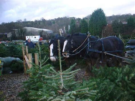 shire horses at work at christmas tree farm chesham