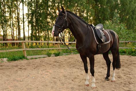 quarter horse american breed horses colors petguide sorrel fallinpets