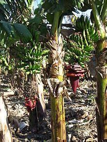 image of a family tree musa paradisiaca wikipedia