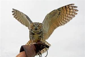 Great Horned Owl Wing Display by Kippenwolf on DeviantArt