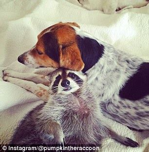 owning a raccoon raccoon pumpkin thinks she s a dog after being adopted as by a family with pups daily mail online