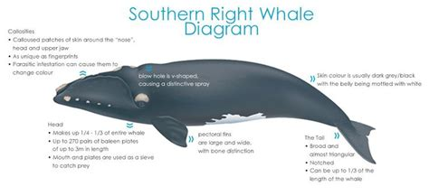 Atlantic Right Whale Diagram by 33 Best Evolution Images On Human Evolution