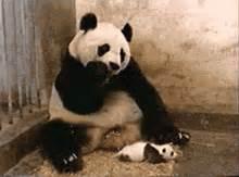 Sneezing Panda Meme - sneezing gifs find share on giphy