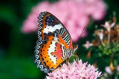 Butterfly Wallpapers Lacewing Desktop Pulpbits
