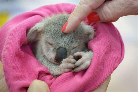 baby born hers orphaned baby koala