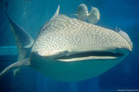 kaiyukan aquarium the vertical tank with its whale shark