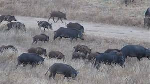 Herd Of Piglets Fighting For Dominance In The Wild