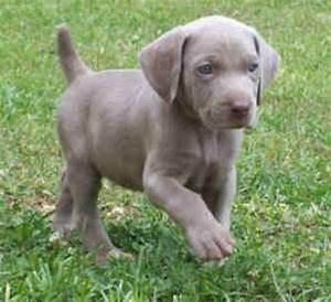 Blue Weimaraner puppy | Banjo/ Miss Mable | Pinterest