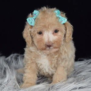 Poodle Puppies For Sale In Pa Ridgewoods Poodle Puppy Adoptions