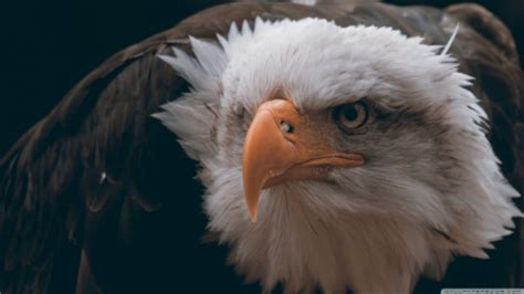 Fierce Animal Wallpapers - fierce eagle birds animals background wallpapers on