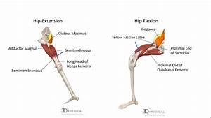 The Diagram Shows A Frontal Section Of The Hip Joint