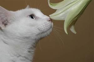 Welche Pflanzen Sind Nicht Giftig Für Katzen : ist die lilie giftig f r katzen risiken und ma nahmen ~ Eleganceandgraceweddings.com Haus und Dekorationen