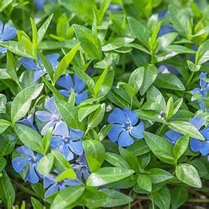 Immergrüne Pflanzen Winterhart Kübel : immergr ne bodendecker auch im topf f r den balkon ~ Lizthompson.info Haus und Dekorationen