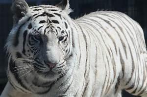 File:Royal White Bengal Tiger headshot at Cougar Mountain ...