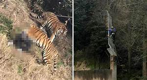 Man 'Mauled To Death' By Tigers After Climbing Into Zoo ...