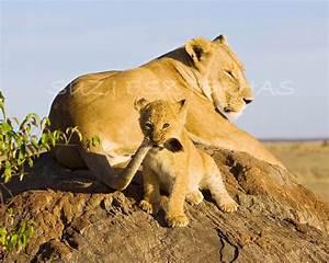 BABY LION PLAYING Photo Print Animal by BabyAnimalPrints ...