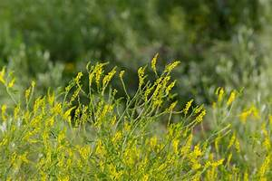 Yellow Sweet Clover (Melilotus officinalis) - Great Basin ...